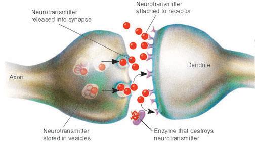Nerve Synapse Drug Addiction | Biolo...