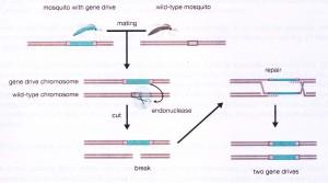 gene drive diagram